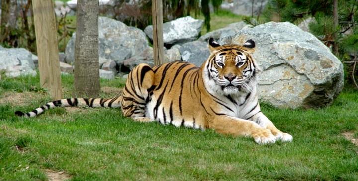 En 40 ans, 50% des animaux sauvages ont disparu de la surface de la Terre tigre sumatra voie disparition 720x365