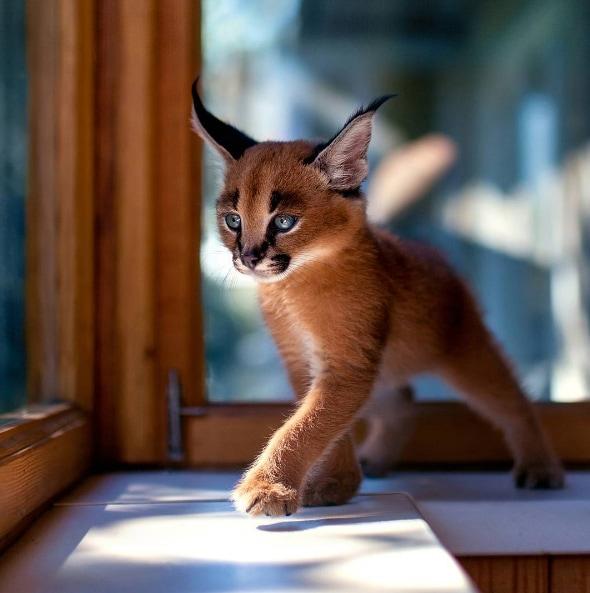Le saviez-vous ? L'espèce de chat la plus mignonne a été trouvée ! 2f9c592e-be3a-45fc-bb88-a2c06160a495